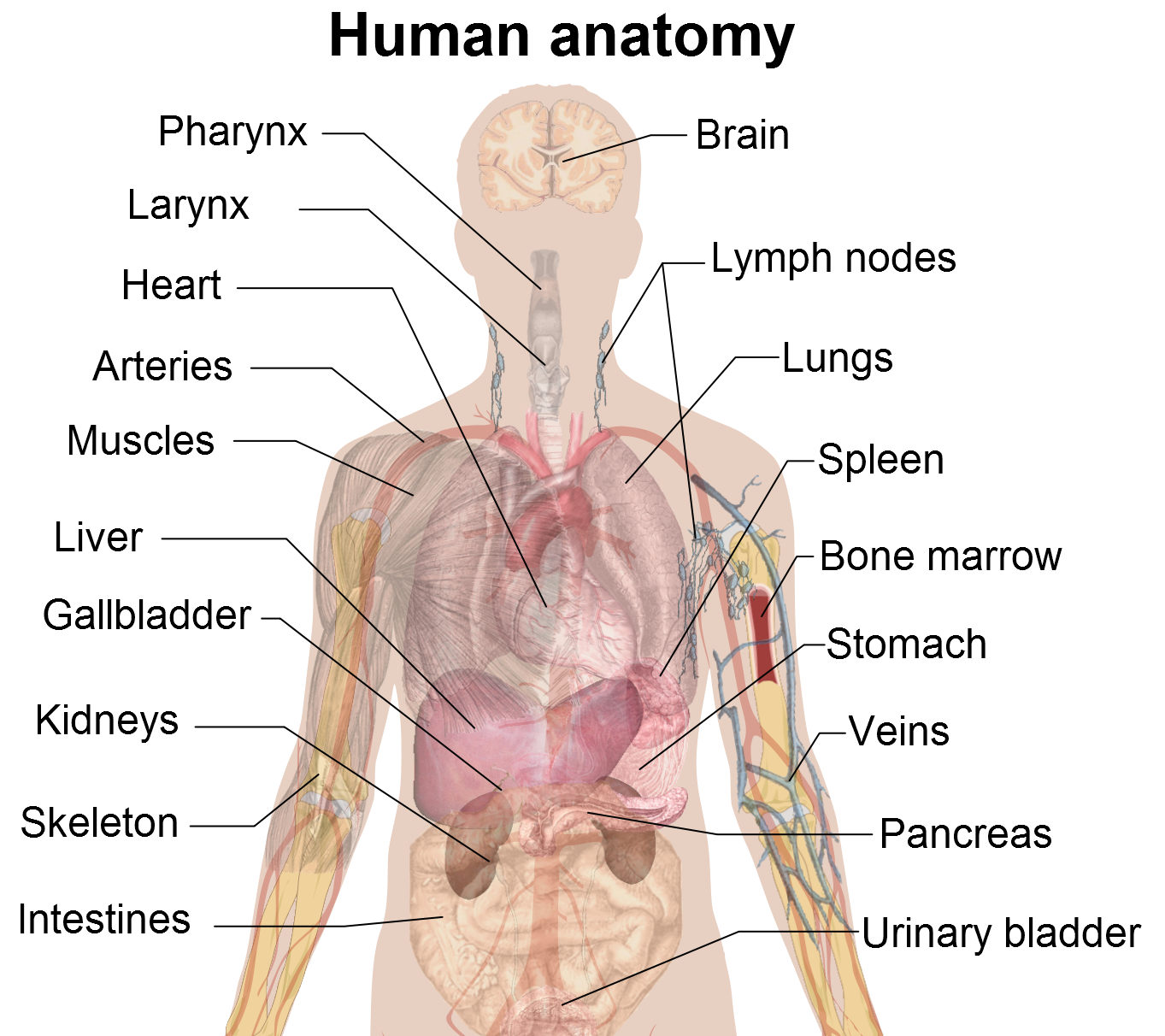 You Thought You Knew Your Body 11 Crazy Features Of Human Anatomy